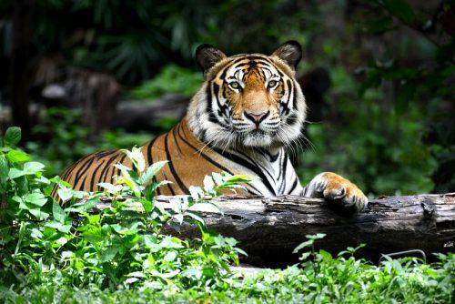 baume du tigre efficace