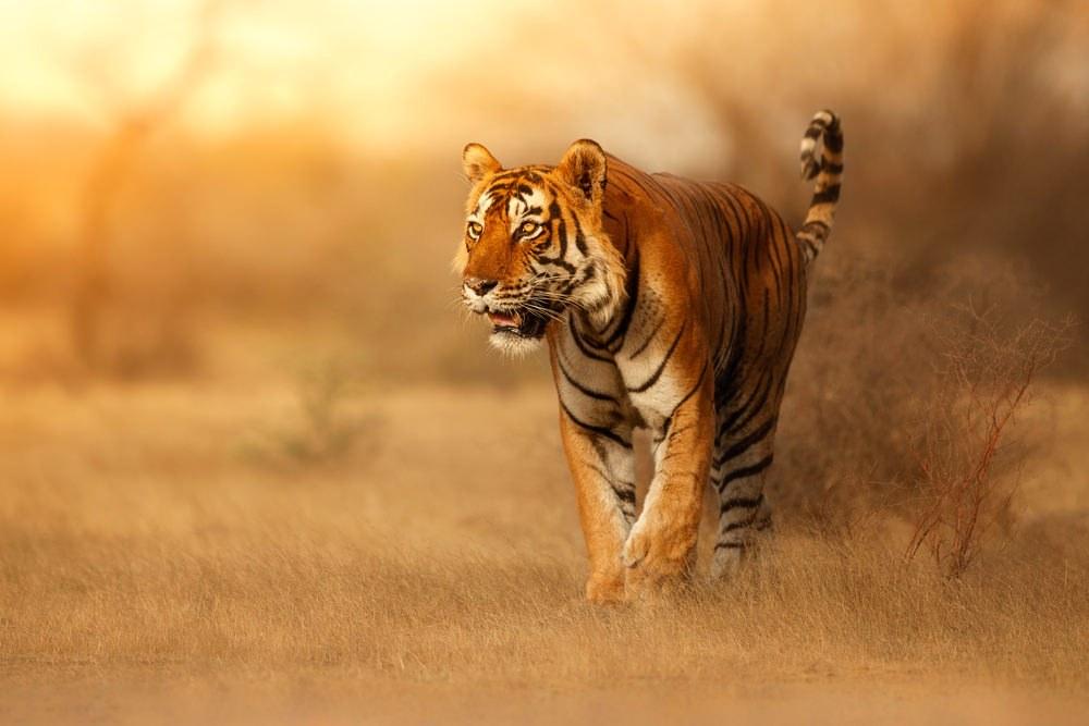 tigre baume du tigre rouge